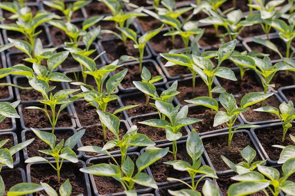 Рассада огурцов — пошаговое описание, особенности и сроки выращивания огурцов разных сортов (145 фото)