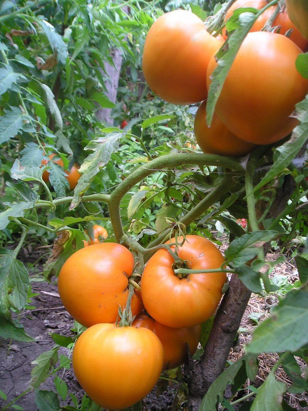 Медовый спас — солнечныйпомидор со сладким вкусом