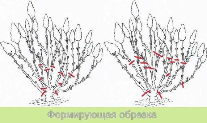 Гортензия метельчатая даймонд руж hydrangea paniculata «diamant rouge»