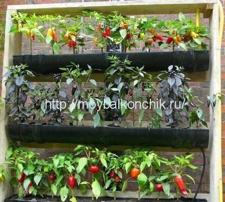 Огурцы на балконе — выращивание пошагово