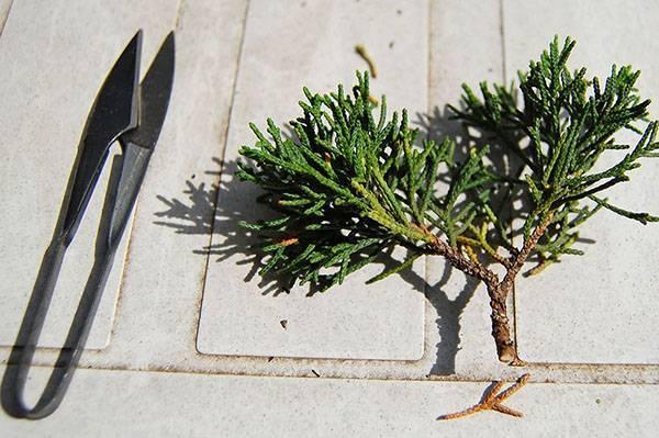 Как размножать садовую голубику: черенками, корневой порослью, семенами, делением куста