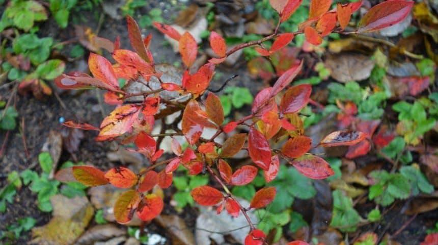 Красные листья у голубики: причины, лечение