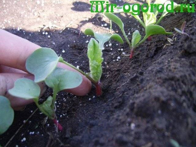 Как и чем подкормить редиску при выращивании в теплице для быстрого роста и в других случаях? возможные ошибки