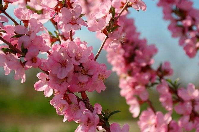 Декоративный кустовой миндаль розовый: посадка и уход в открытом грунте