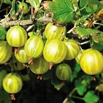 Медовый сорт крыжовника: его характеристики и особенности выращивания