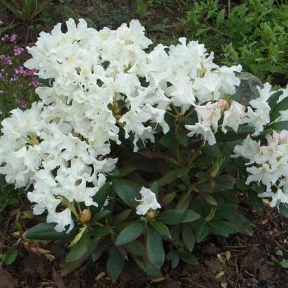 Рододендрон cunningham s white посадка и уход