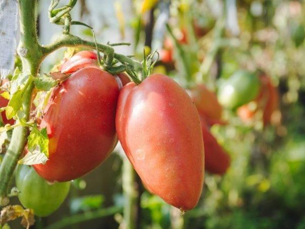 Характеристика томата кемеровец и рекомендации по размножению сорта