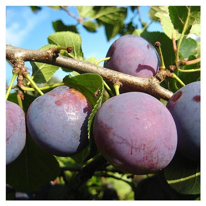 Сорт сливы богатырская: главные характеристики и тонкости выращивания