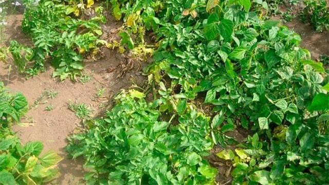 Болезни и вредители картофеля с фото, способы борьбы с ними | образцовая усадьба
