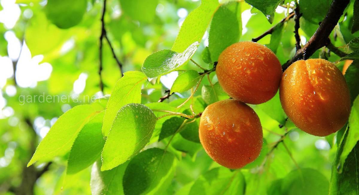 Арахис: выращивание в открытом грунте