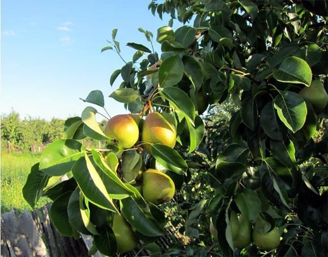 Груша дюймовочка — описание сорта, фото, отзывы садоводов