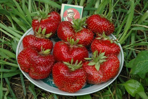 Клубника «машенька» — правила выращивания любимого сорта