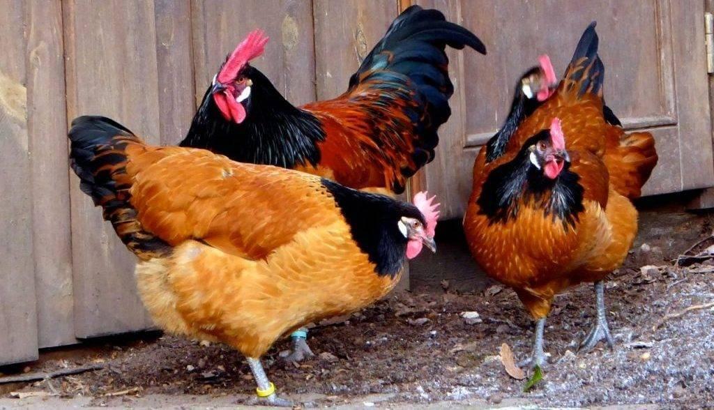 Форверк порода кур – описание, фото и видео - общая информация - 2020