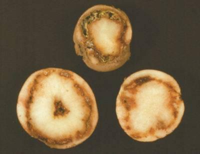 Можно ли есть почерневшую картошку. картофель чернеет практические советы