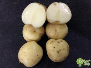 Голландский картофель «сифра»: описание нового сорта для ценителей классики