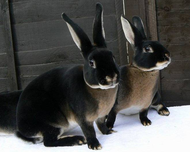 Кролики породы рекс (32 фото): описание декоративных зверьков, окрасы карликовых мини-кроликов. какой у них мех? сколько живут?