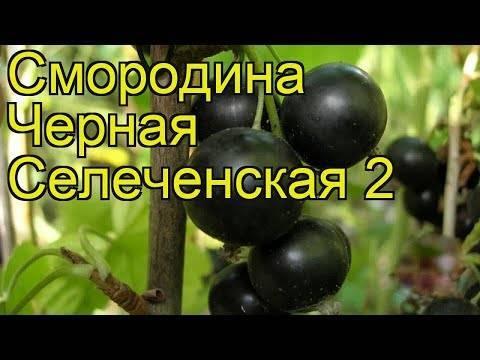 Сорт чорної смородини геркулес (геракл): плодоношення, розмір і смак ягід