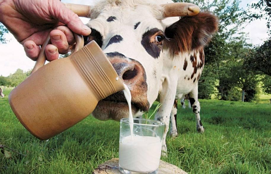 Как можно повысить жирность молока у коровы?