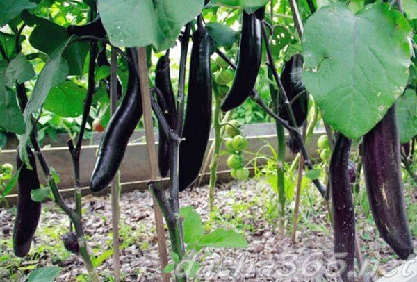 Описание сорта баклажана король рынка f1 особенности выращивания и ухода