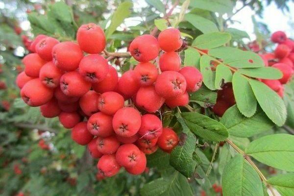 Черноплодная рябина: посадка и уход, вред и польза