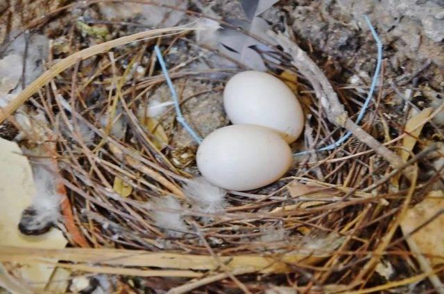 Яйца голубей: как выглядят, едят ли, сколько весят