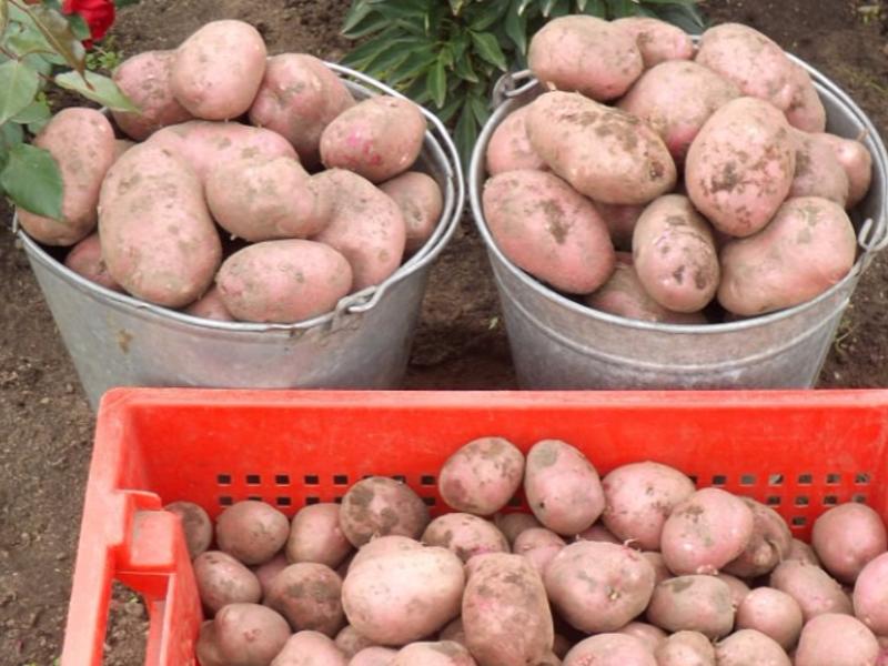 Картофель Рябинушка