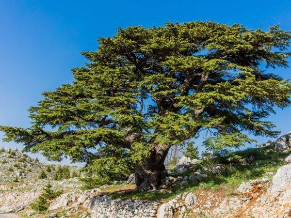 Сибирский кедр (42 фото): описание сосны. посадка и выращивание саженцев на даче. как цветет дерево? особенности корневой системы. когда начинает плодоносить?