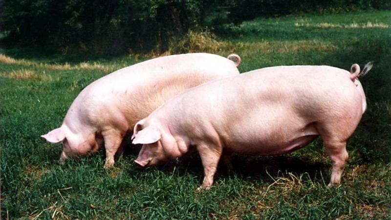 Свиноводство как бизнес: с чего начать, как преуспеть