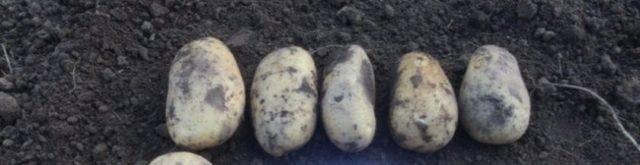 Описание и характеристики сорта картофель айл оф джура