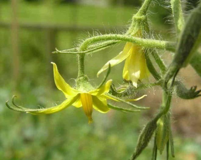 """Томат """"каспар"""" f1: описание сорта, характеристики урожайности, рекомендации по выращиванию отличных помидор"""