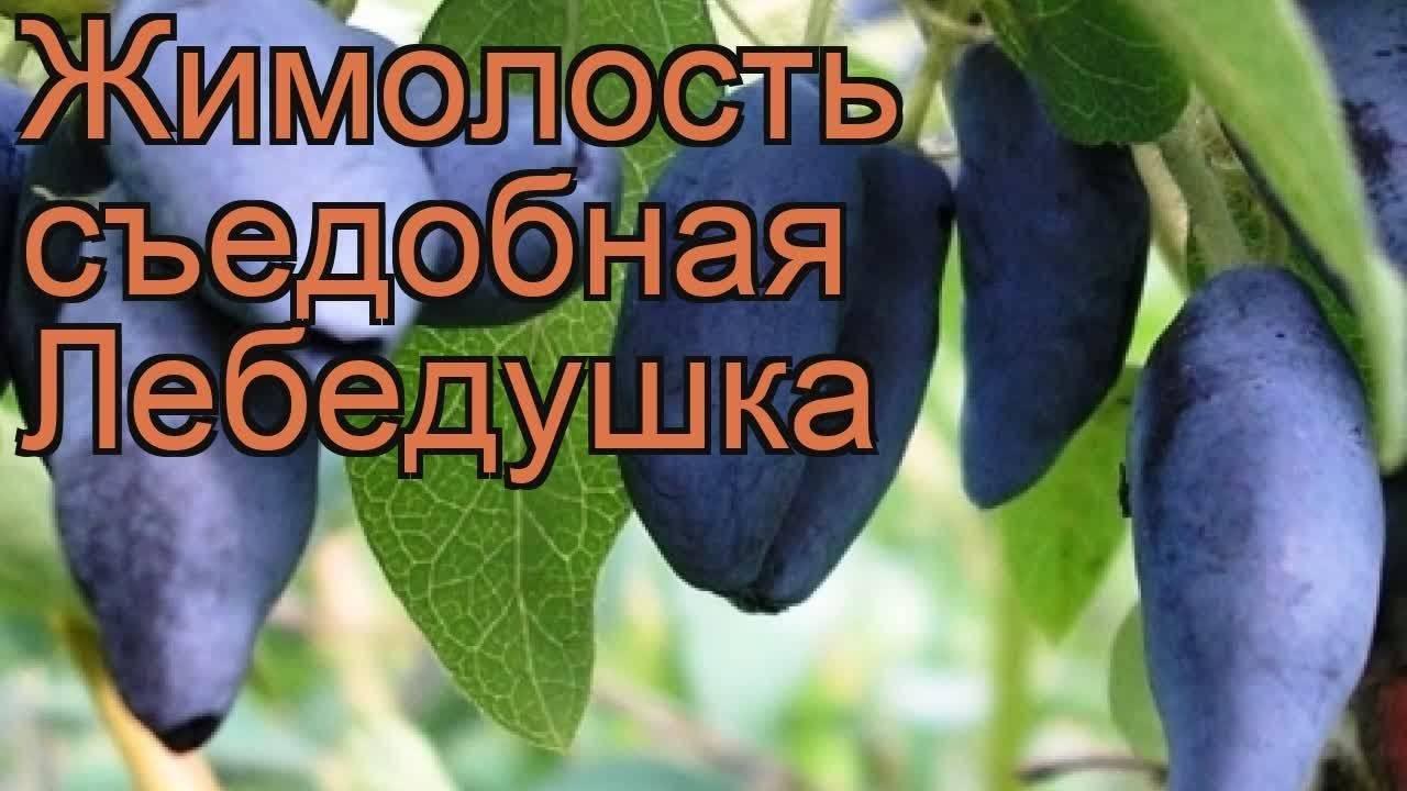 Съедобная жимолость пушкинская — основные характеристики