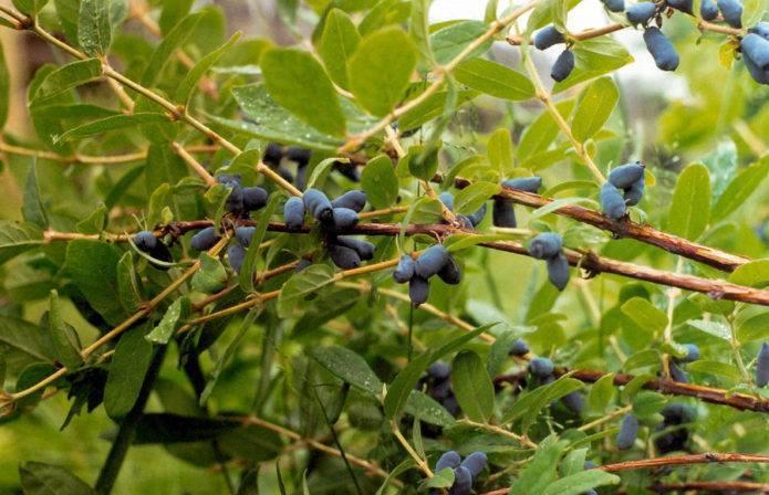 Жимолость волшебница: описание сорта и особенности выращивания