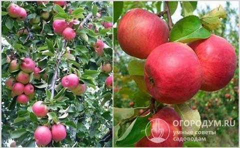 Яблоня жигулевское: описание сорта, посадка и выращивание