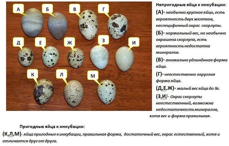 Инкубация перепелиных яиц – пошаговая инструкция