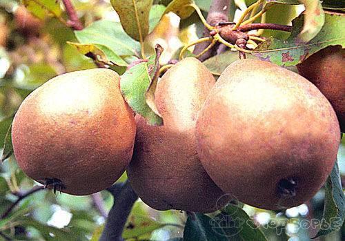 Груша белорусская поздняя: ароматные плоды на новогоднем столе