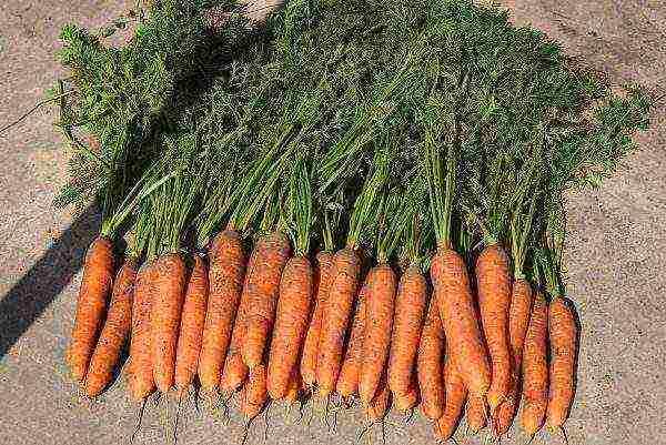 Сладкие сорта моркови для зимнего хранения на урале, средней полосе россии