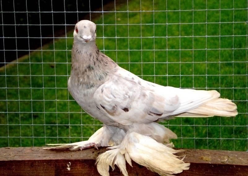 Какие бывают бойные породы голубей?