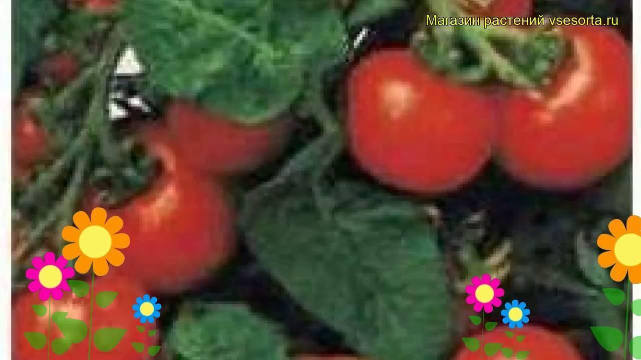 Карликовый томат пиноккио: нюансы выращивания