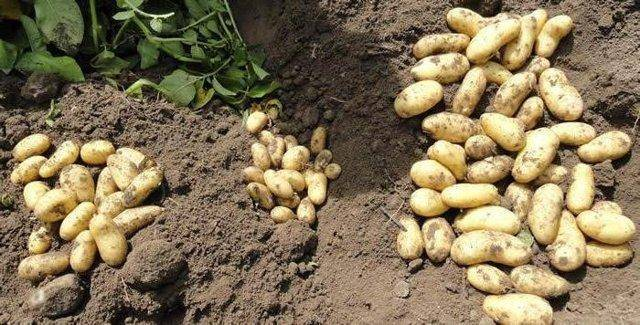 Картофель маделина — описание сорта, фото, отзывы, посадка и уход