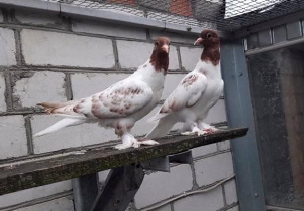 Древние и особенные иранские голуби - как же их разводить и в чем их особенность - общая информация - 2020