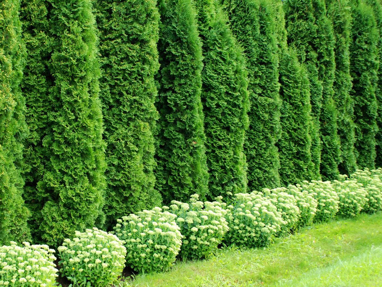 Из каких растений можно сделать живую изгородь своими руками