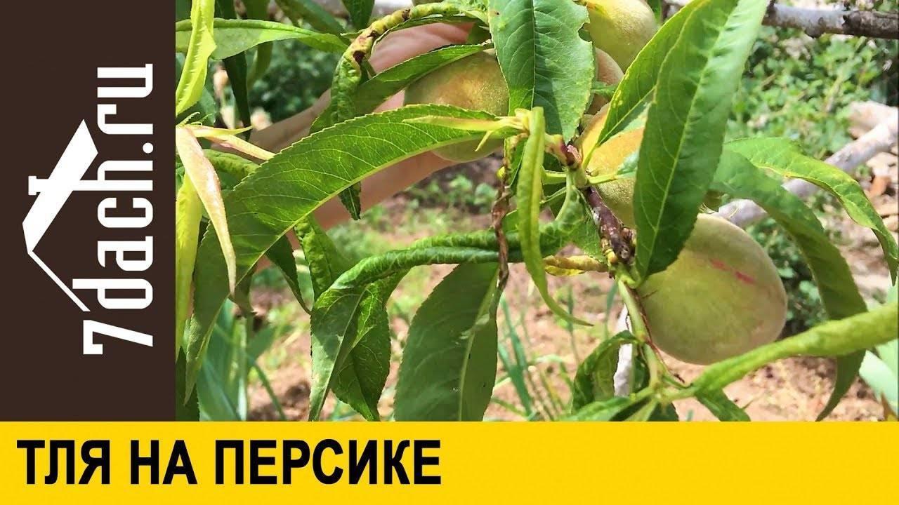 Тля на персике: чем обработать, как бороться народными средствами и химическими препаратами
