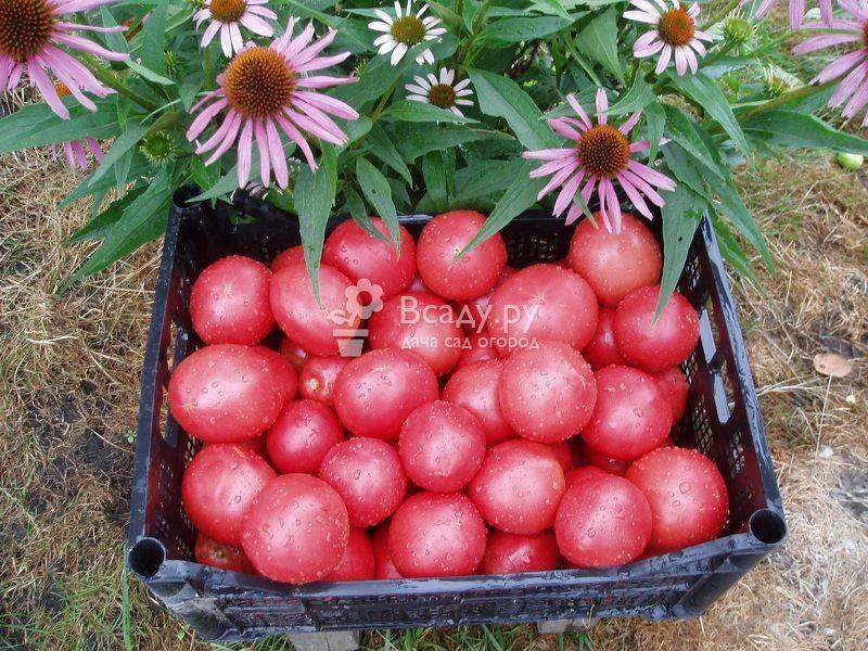 Сорт томата «малиновое чудо»: описание, характеристика, посев на рассаду, подкормка, урожайность, фото, видео и самые распространенные болезни томатов