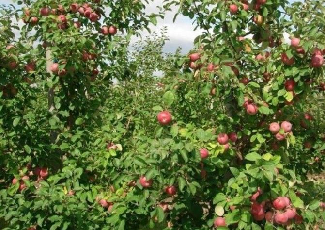 Яблоня «орлик»: описание сорта, фото и отзывы