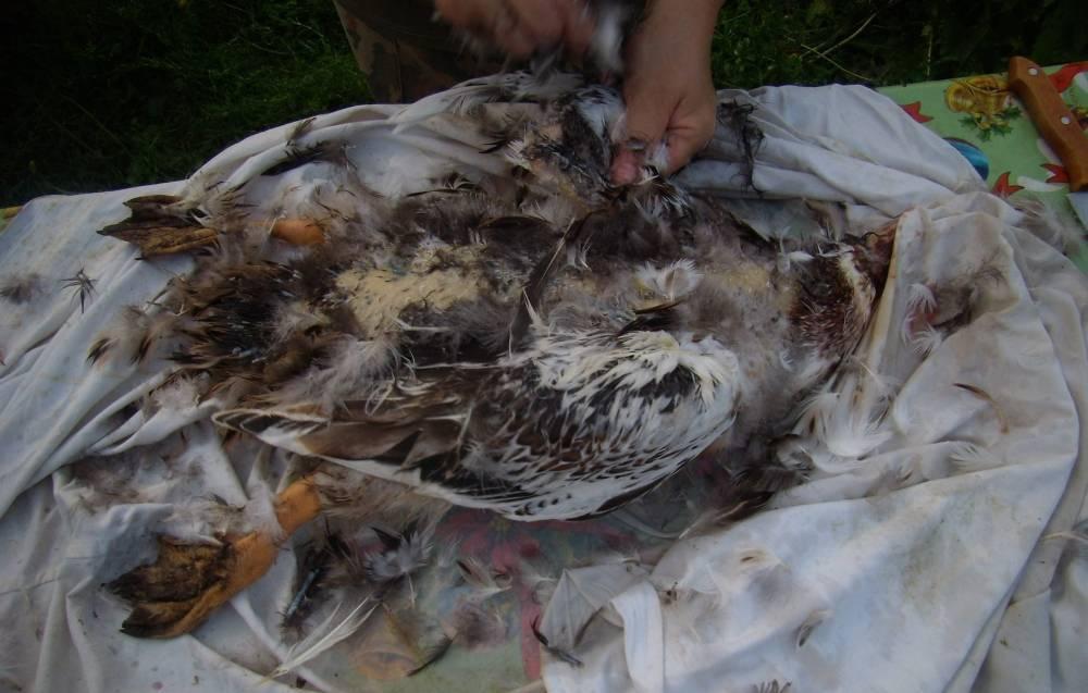 На обед — утка: как грамотно ощипывать вручную, потрошить и разделывать птицу