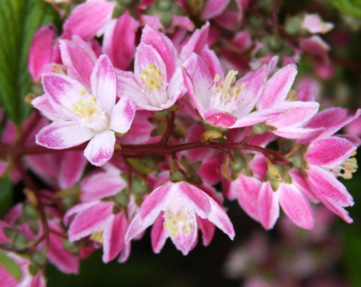 Кустарник дейция: фото цветов, уход и сорта шершавая и гибридная, розовая и белая