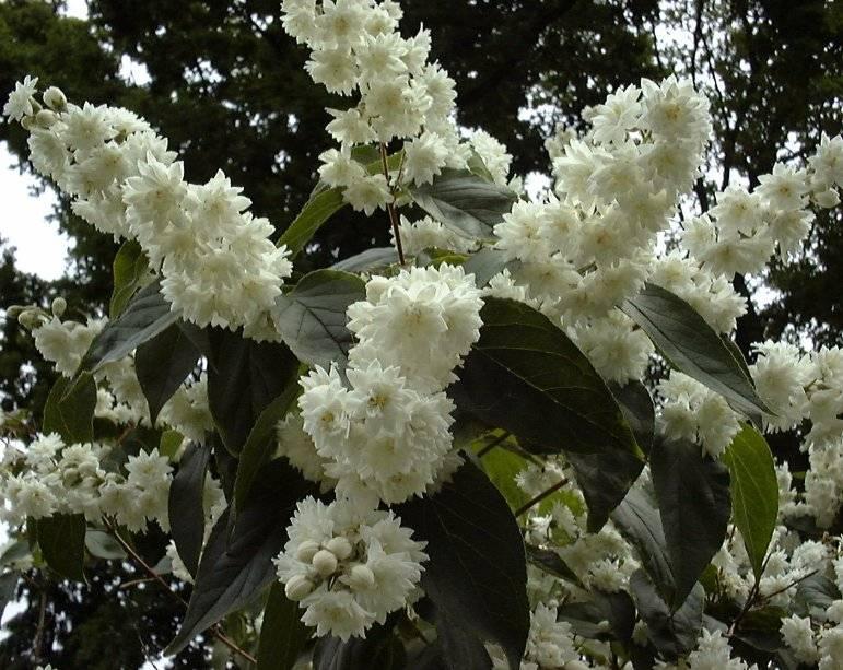 Дейция: описание, виды и сорта, посадка в открытом грунте и уход за теплолюбивой восточной красавицей (75  фото & видео)  отзывы