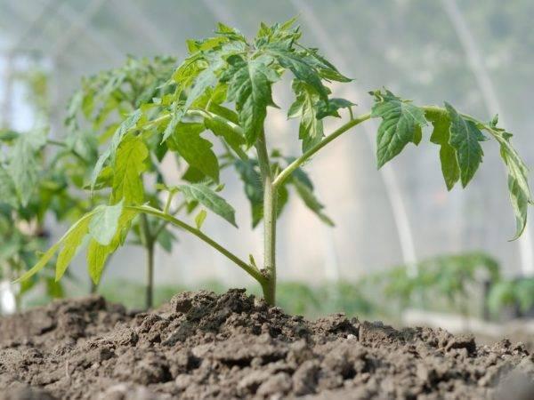 Правила посадки и посева семян томатов в грядки в различных регионах