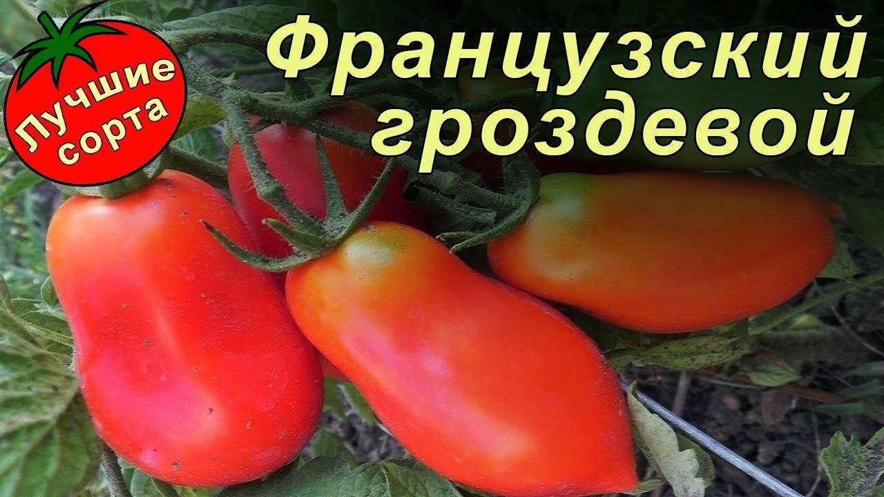 Выращивание томата французский гроздевой