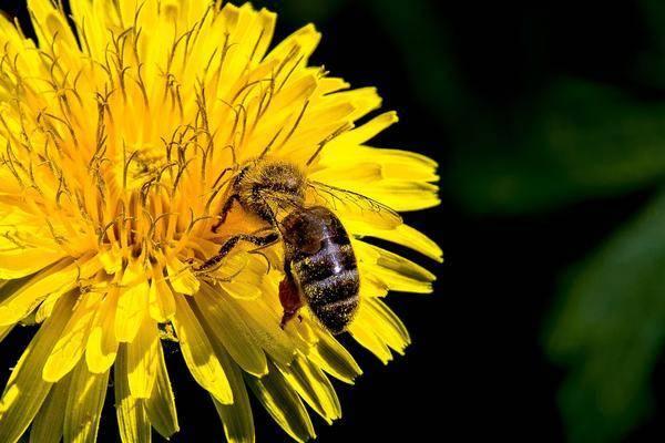 Одуванчик: польза и вред целебного растения